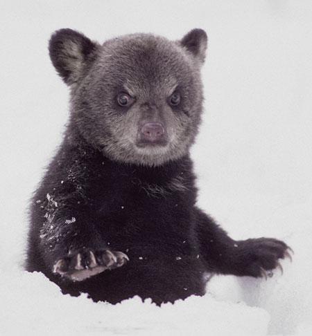 bear scowl